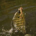 ブルーギルの餌って何!?釣り方、飼育についても紹介します!!!