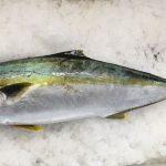 ヒラマサ・ブリ・カンパチ見分け方!出世魚の値段は?刺身の寄生虫はいる?